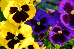 pansy-bsp1